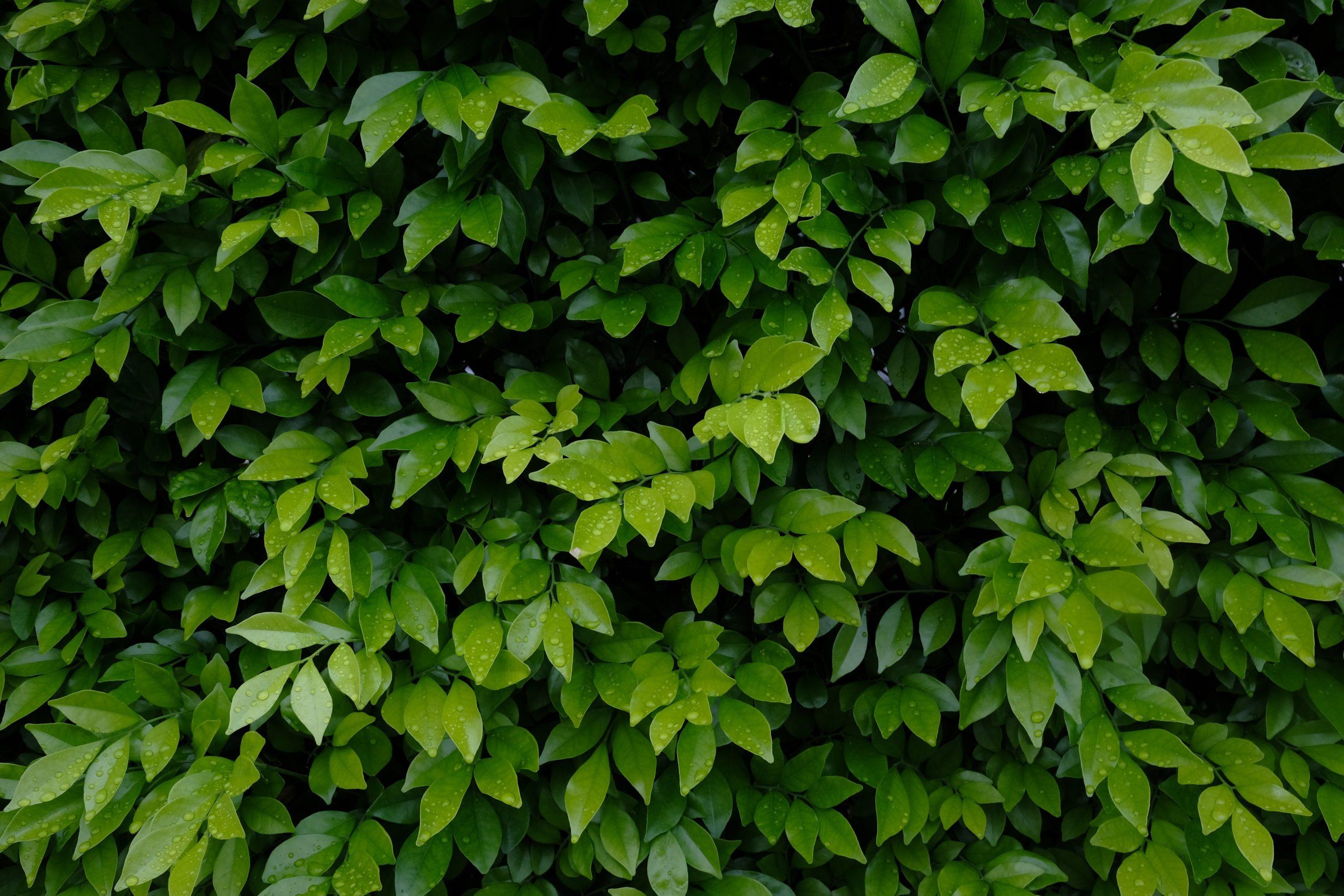 Se över buskar och träd efter gångvägen